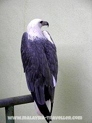 Birds of Prey at Langkawi Wildlife Park