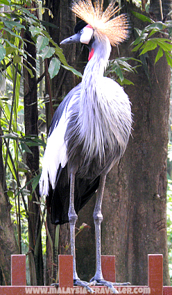 Crane at Langkawi Bird Paradise