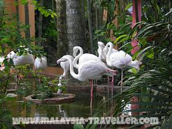 Langkawi Bird Paradise Flamingos