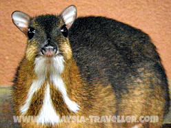 Mouse Deer at Langkawi Wildlife Park