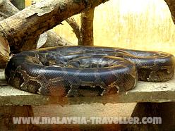 Python at Langkawi Bird Paradise