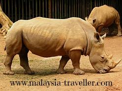 White Rhino at Melaka Zoo
