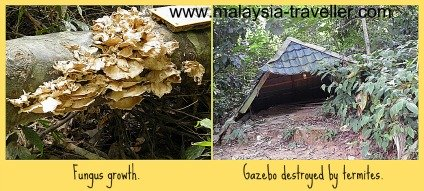 Termite damage and fungus growth on Gunung Datuk.