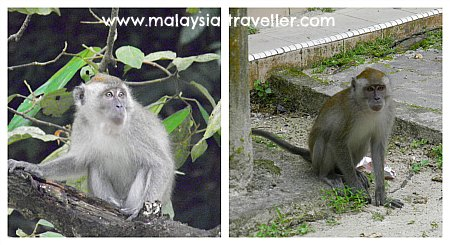 Monkeys at Ampang Forest Reserve
