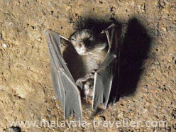 Bat at Fairy Cave