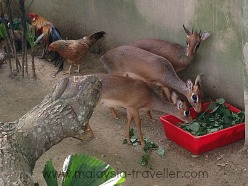 Deer and chickens mix freely at Farm In The City, Malaysia