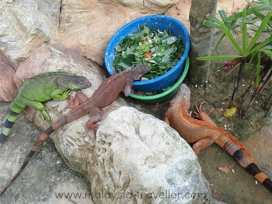 Colourful iguanas at Farm In The City, Malaysia