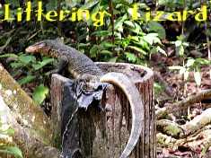 Monitor Lizard at Gunung Ledang National Park