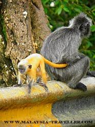 Siver Leaf Monkeys at Kuala Selangor