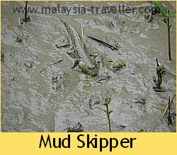 Mud skipper at Kukup Laut