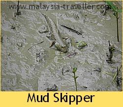 Mud skipper at Kukup Laut