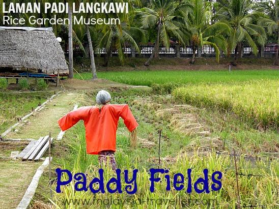 Laman Padi Langkawi paddy fields