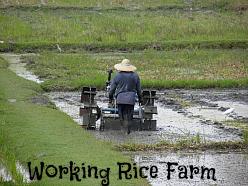 Laman Padi Langkawi ploughing