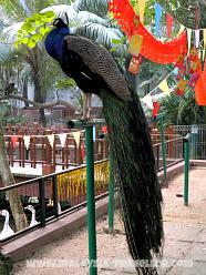 Peacock at Langkawi Wildlife Park