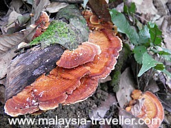 Fungus on Bukit Kiara Park trail
