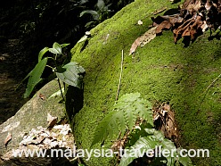 Mossy rock at Lembah Kiara Park