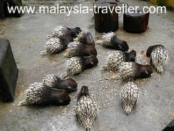 Porcupines at Animal Garden, Malaysia Agriculture Park