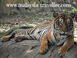 Malayan Tiger at Zoo Melaka