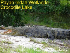 Crocodile at Paya Indah Wetlands, Dengkil