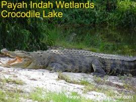 Crocodile at Paya Indah Wetlands, Dengkil