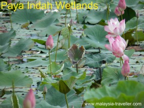 Paya Indah Wetlands, Lotus lilies on Typha Lake