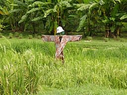 Mini paddy field complete with scarecrow.