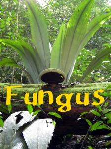 Gunung Angsi Fungus