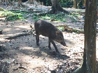 Wild boars at Ketumbar Hill