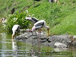Storks feeding at the Mines