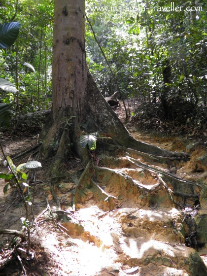 Large tree at Ayer Hitam Forest Reserve