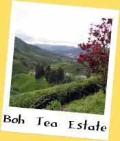 Boh Tea Estate, Cameron Highlands