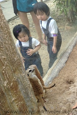 Cute meerkats are popular with kids at Farm In The City, Malaysia