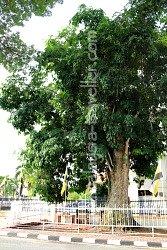 Rubber Tree Kuala Kangsar