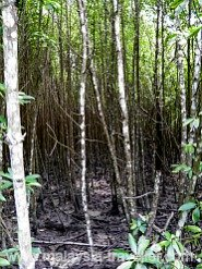 Mangrove Forest at Kuala Selangor Nature Park