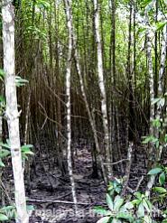 Mangrove Forest at Kuala Selangor Nature Park