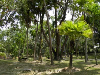 Palms in Labuan Botanical Garden