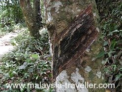 Evidence of rubber tapping