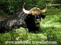 Malayan Gaur at Melaka Zoo