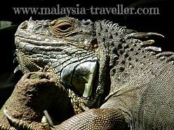 Iguana at Melaka Zoo