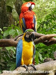 Macaws at Melaka Zoo