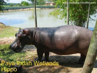Paya Indah Wetlands - Hippo