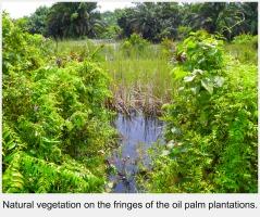 Oil Palm Plantation, Carey Island