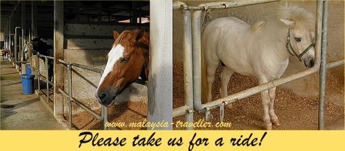 Ponies at Putrajaya Equestrian Park