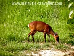 Deer at Taman Negara