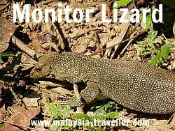 Monitor Lizard at Taman Negara