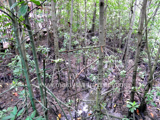 Mangrove Forest at Tanjung Piai