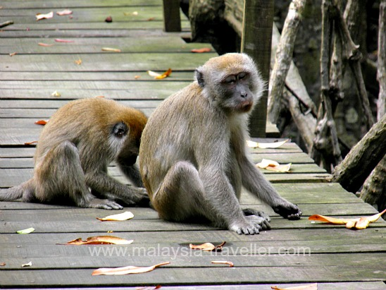 Monkeys at Tanjung Piai