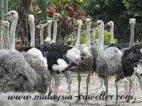 Ostrich Wonderland