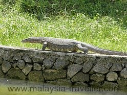 Monitor Lizard at theMines