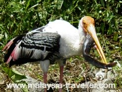 Stork eating a catfish.